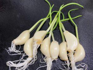 根と芽も食べられるにんにく